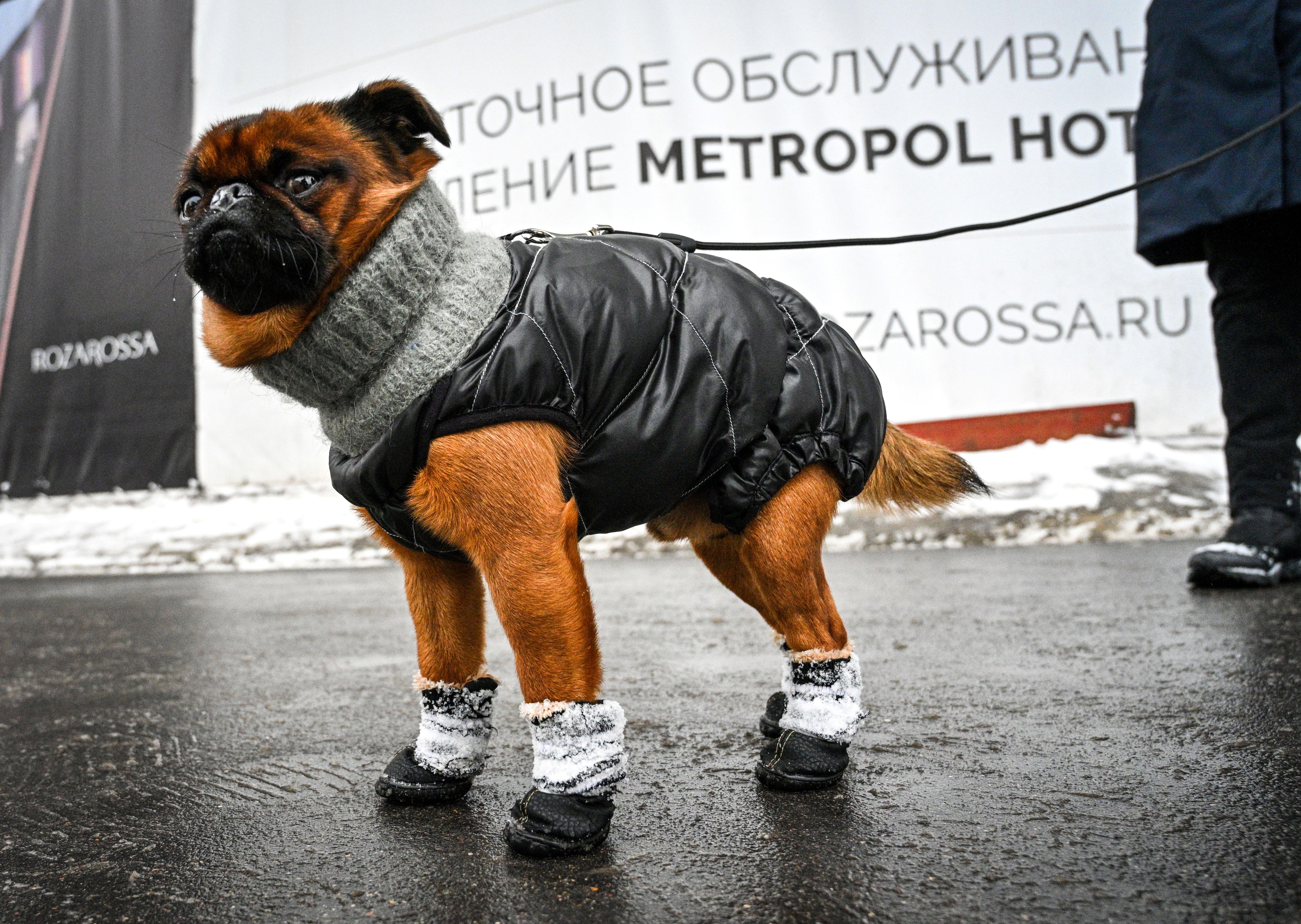 كلب يرتدي ملابس تقيه من الثلوج موسكو