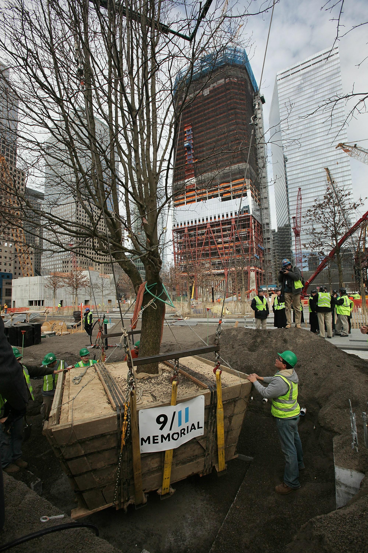 عمال ينقلون الشجرة الناجية بعد تعافيها لزرعها في موقع برج التجارة العالمي في 22 كانون الأول/ديسمبر عام 2010