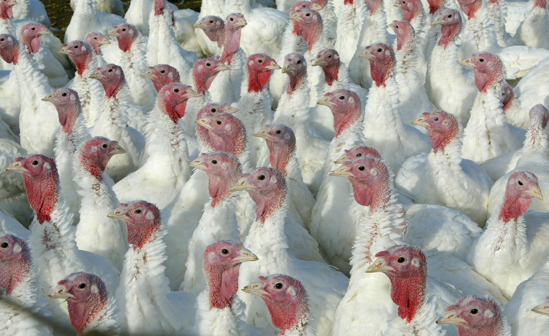 يلتهم الأميركيون أكثر من 11 مليون ديك رومي خلال عيدي الشكر والكريسماس