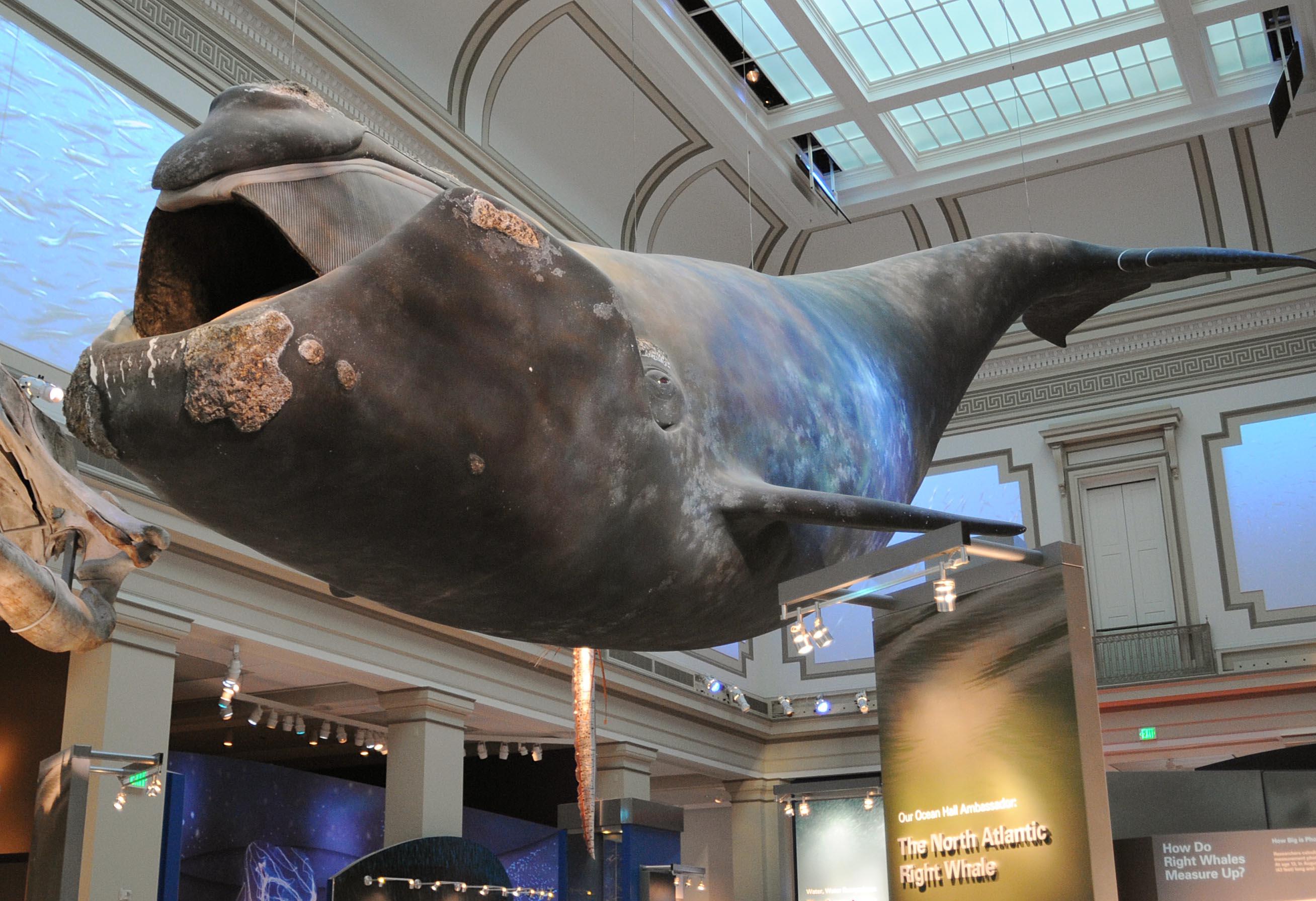 مجسم لأحد أنواع الحيتان الكبيرة داخل المتحف