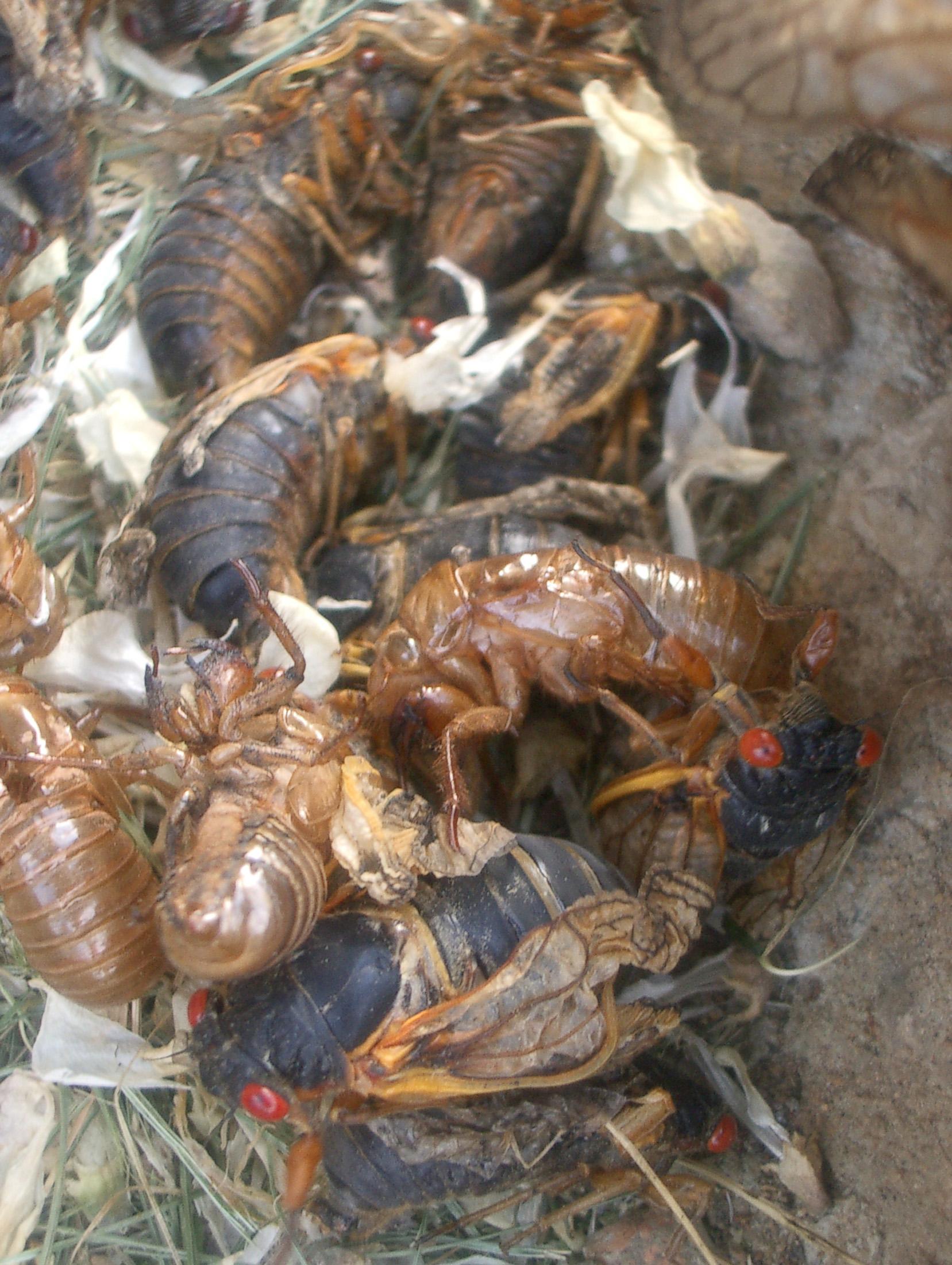 بعيد خروجها من تحت الأرض، تتخلص حشراتالزيز من هيكلها الخارجي