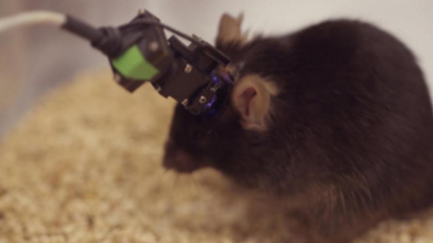 إجراء الاختبار على فأر