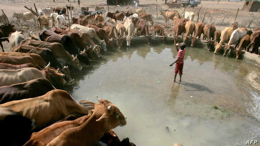 أبقار في السودان. أرشيفية