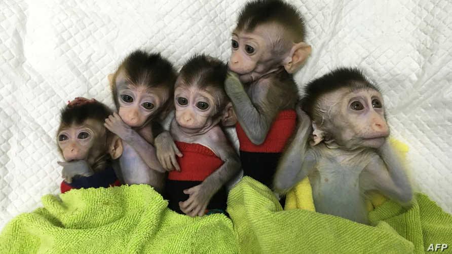 القرود المستنسخة