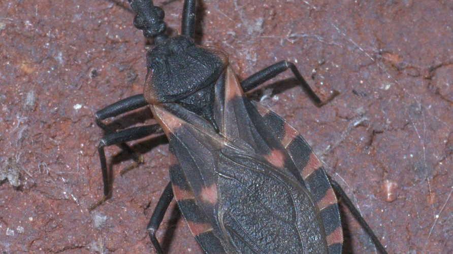 حشرةالبق المقبّل