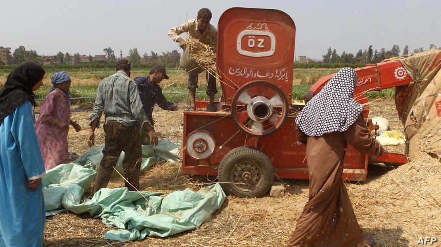 جني محصول القمح في مصر-أرشيف