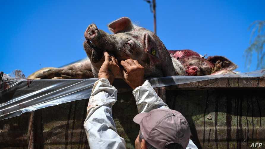 رجل يعمل على خنازير ميتة في قرية توفستي جنوب رومانيا - أرشيف