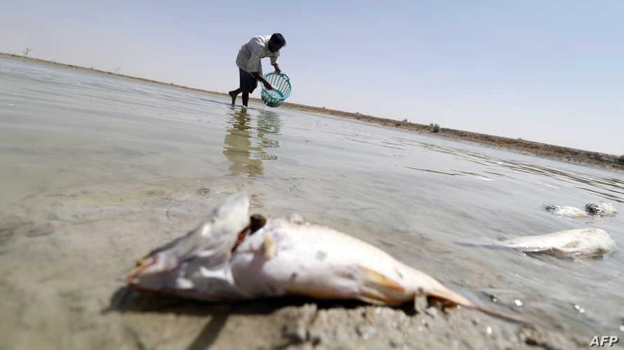 عراقي يجمع السمك الميت بسبب تلوث المياه في البصرة في أغسطس 2018