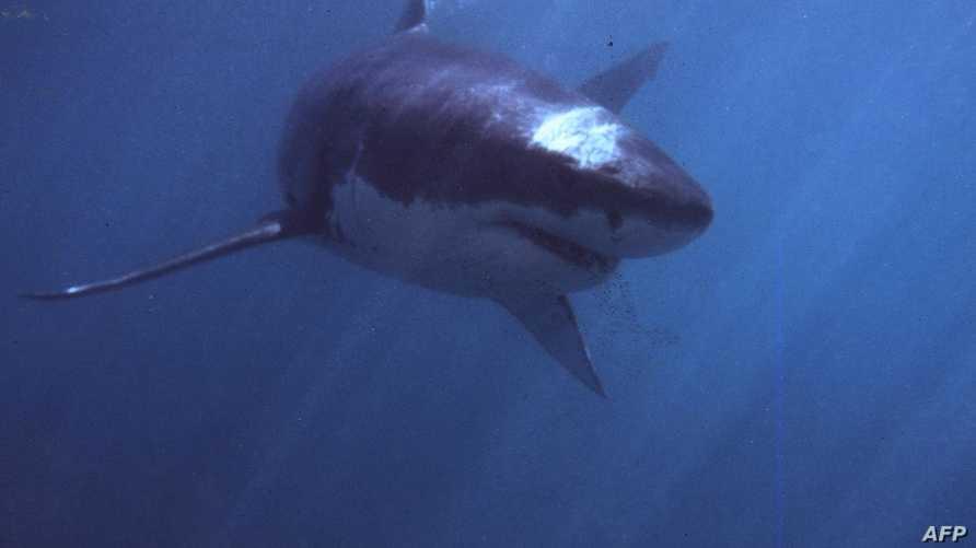 سمكة القرش الأبيض الكبير