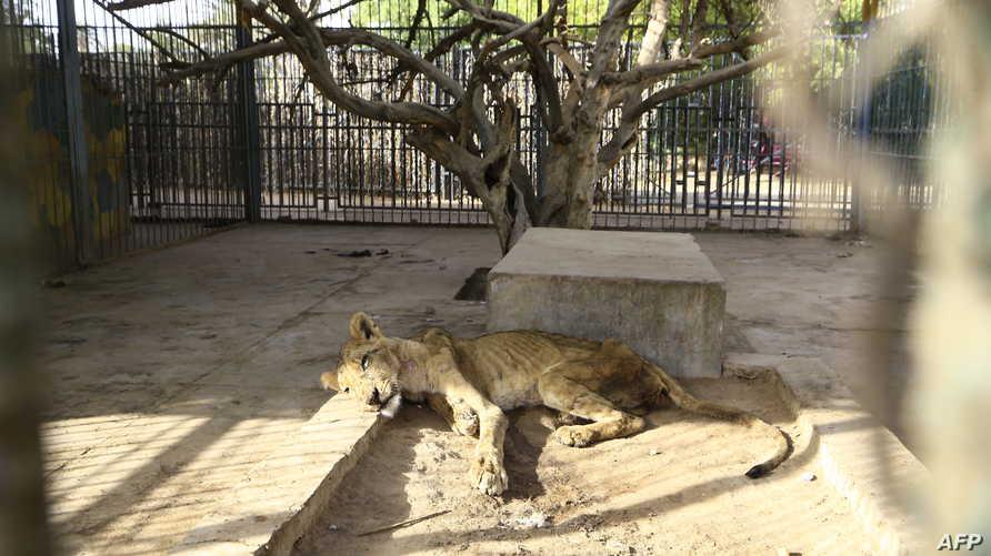 نفوق أسد في حديقة حيوانات في السودان- 20 يناير 2020