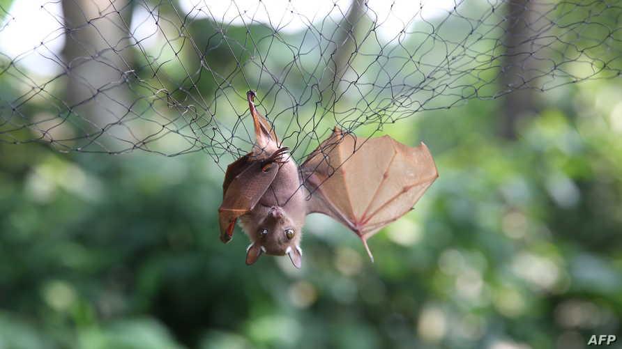 الخفافيش خزان فريد من الفيروسات التي تتكاثر بسرعة وتنتقل بشكل كبير