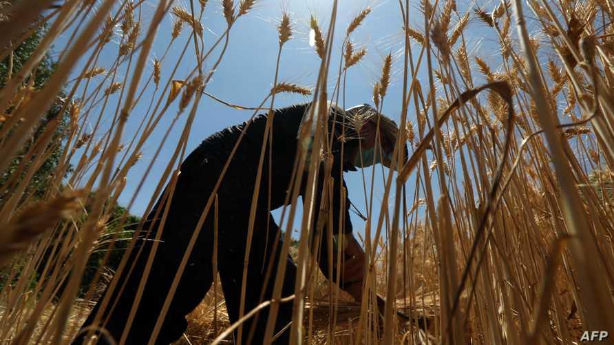 تؤكد وسائل اعلام محلية أن أوامر صدرت بإعفاء مدير السايلو وبعض المسؤولين الآخرين على خلفية اختفاء الحنطة