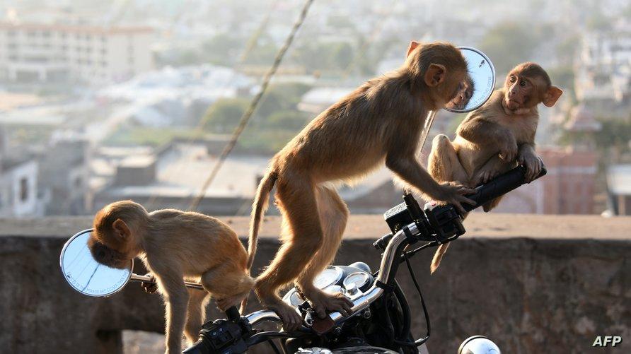 """تنتشر القرود بشكل لافت في الهند، وتتميز قرود """"المكاك""""، التي ينتمي لها """"السراق""""، بالذكاء الشديد"""