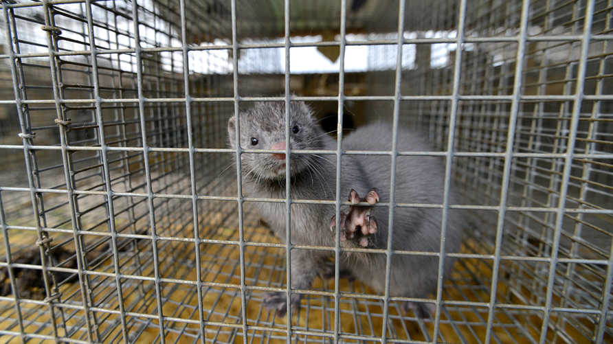 A picture taken on April 28, 2015 shows a mink looking out from a cage at a mink farm near Stavropol. AFP PHOTO / DANIL…