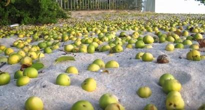 ثمارها يشبه التفاح