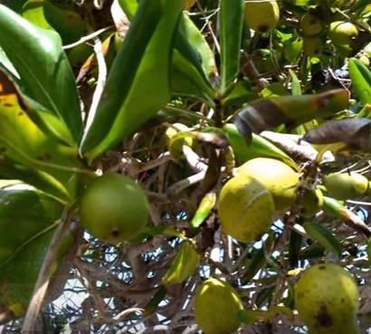 ثمرات من الشجرة
