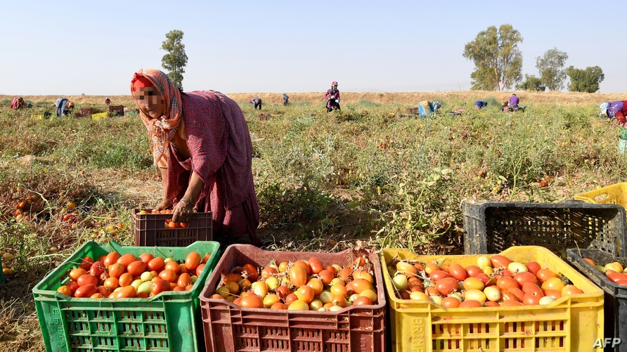 عاملة فلاحية في تونس (أرشيف)