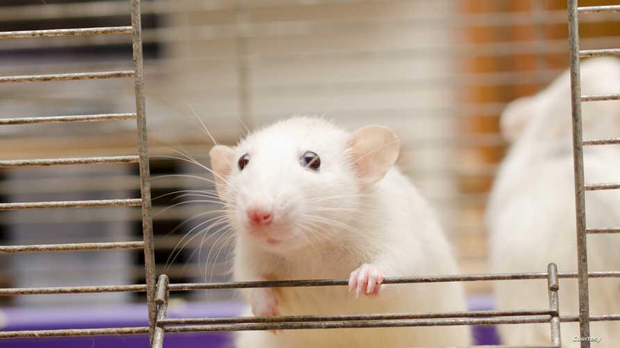 دور مهم تلعبه الفئران في التجارب الطبية