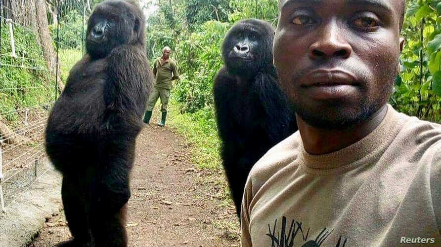 اثنتان من الغوريلا الجبلية تقفان كالبشر أمام الكاميرا في متنزه وطني في الكونغو