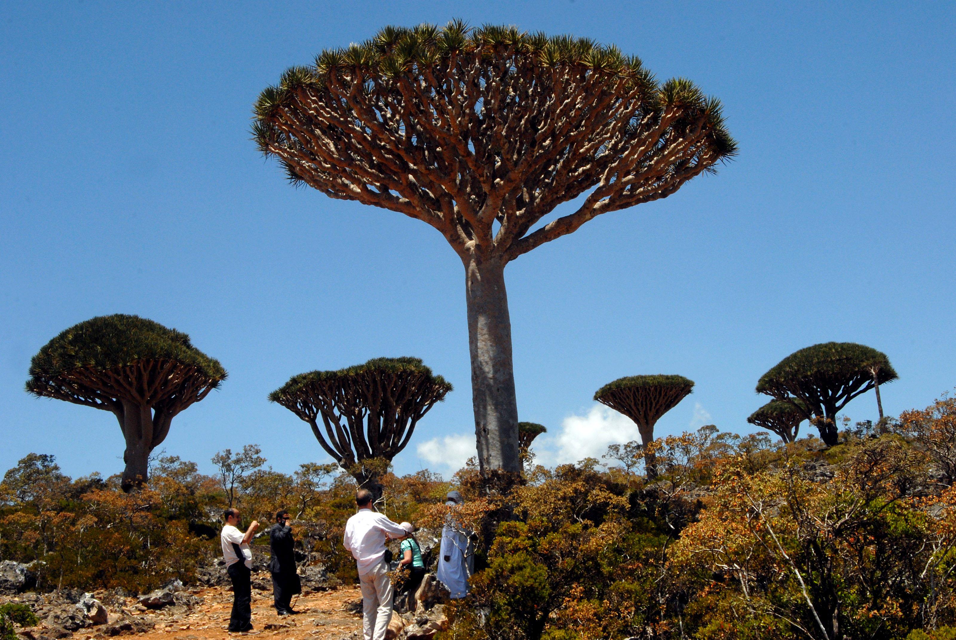 سياح يمنيون واجانب يجتمعون بالقرب من شجرة دم التنين في جزيرة سقطرى اليمنية