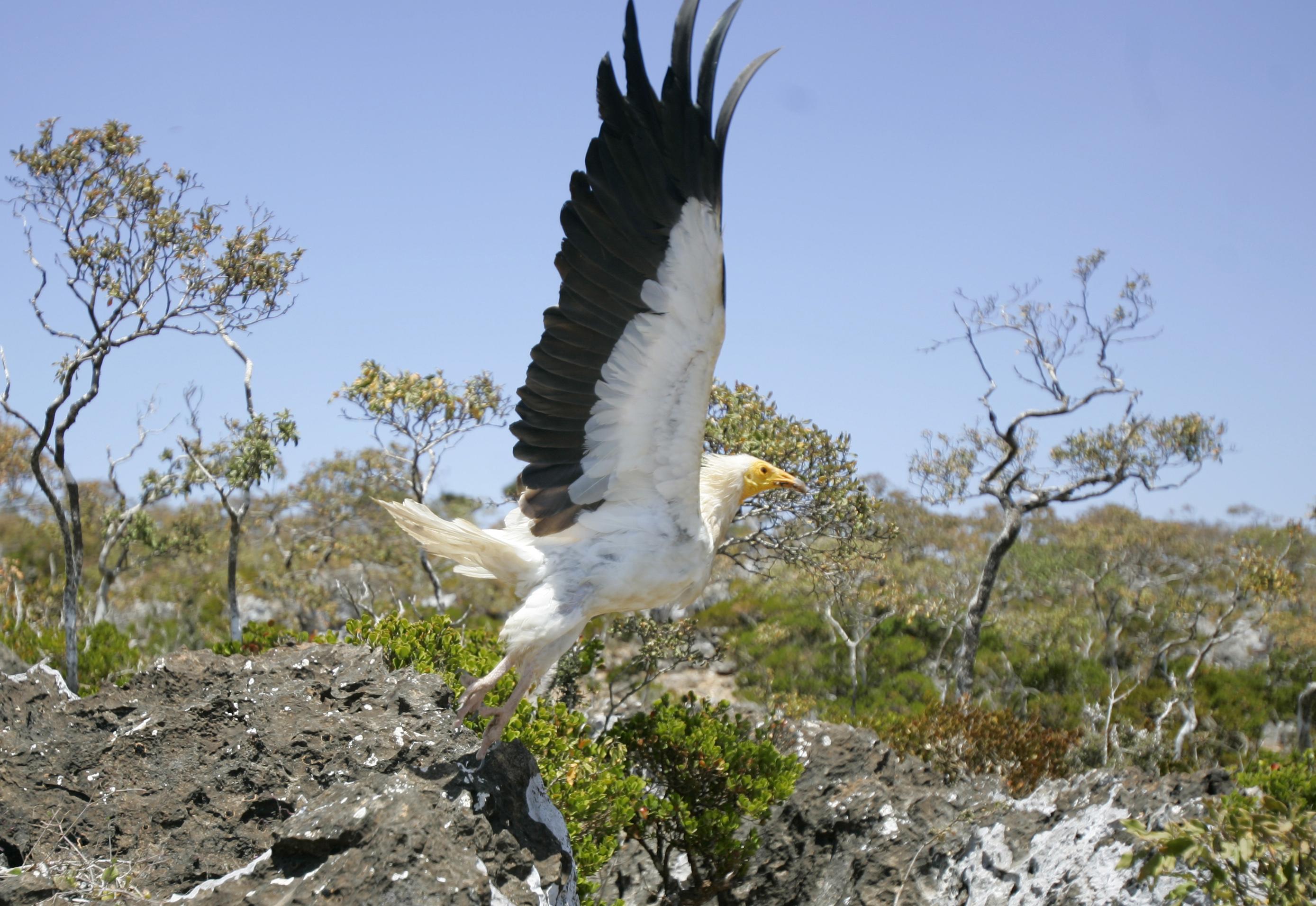 طائر نسر مصري يطير في جزيرة سقطرى