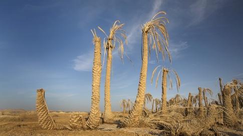 في مطلع الثمانينات، كانت أشجار النخيل في العراق تقارب 30 مليون شجرة