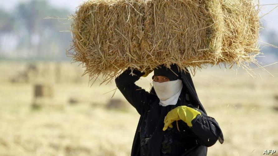 فلاحة تنقل رز العنبر عالي الجودة قرب مدينة النجف العراقية في 2014